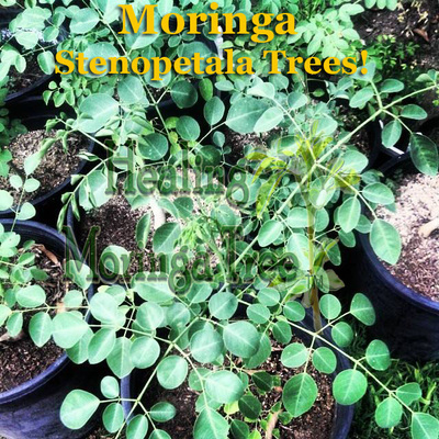 Organic Beauty Products >> Buy Moringa Tree Species, Organic Moringa trees, Moringa ...