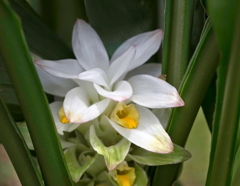 Rare Organic White Turmeric Plants For Sale Buy White