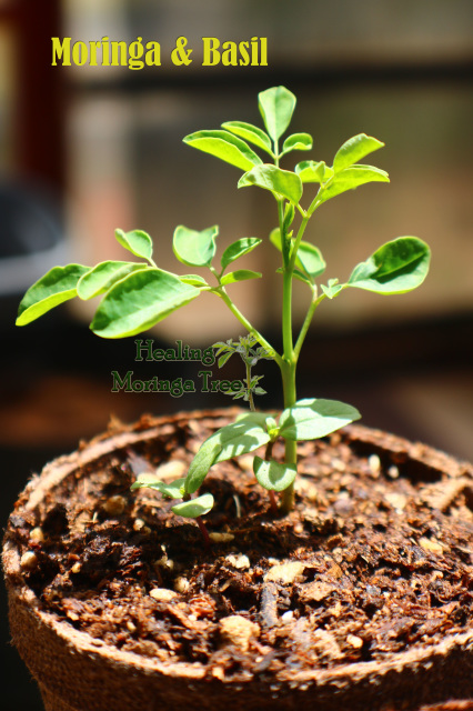 Organic Beauty Products >> Moringa Tree & Mixed Basil Companion Plant